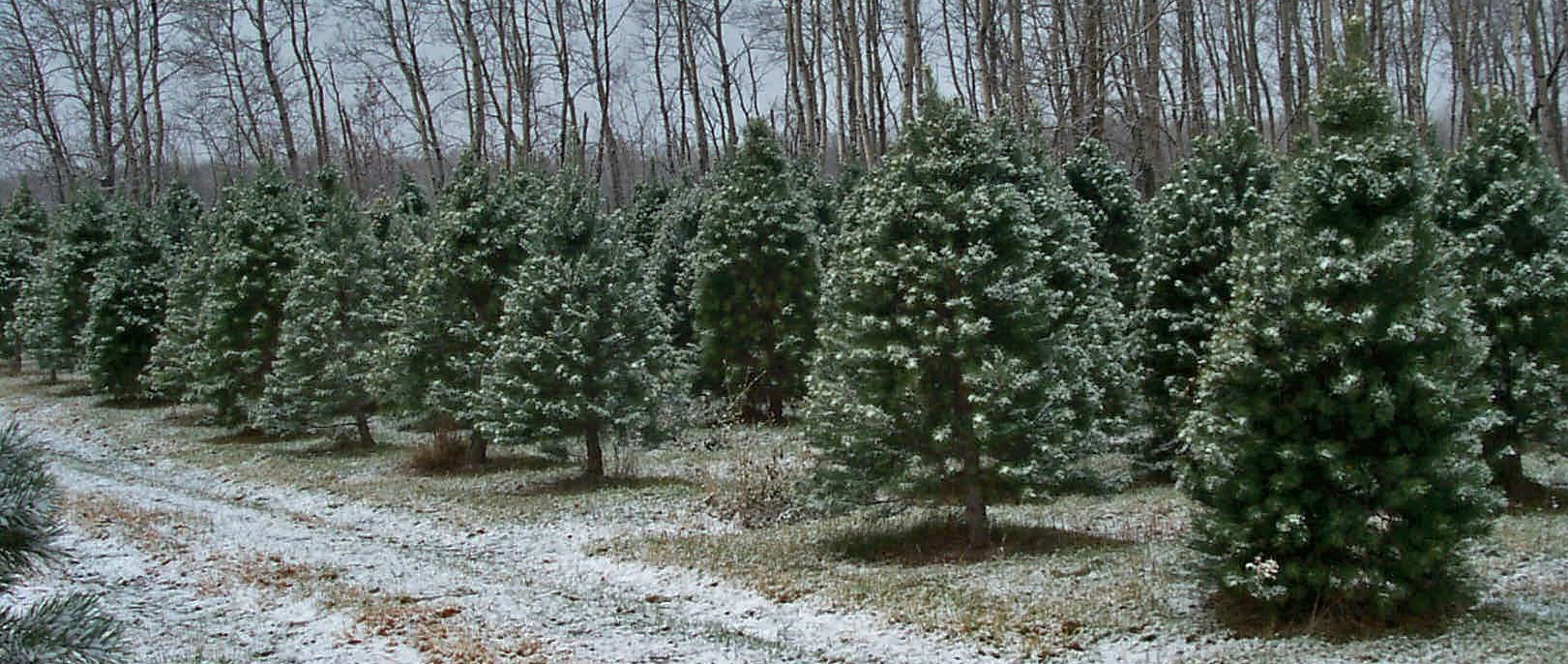 Country Pines Tree Farm